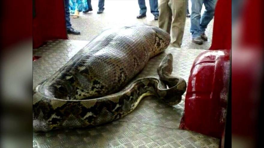 Vídeo: Una serpiente pitón devora a una mujer en Indonesia