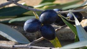 EEUU amenaza la aceituna española con aranceles más altos
