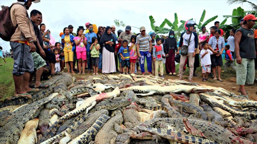 Masacran a 292 cocodrilos tras muerte de un habitante en Indonesia