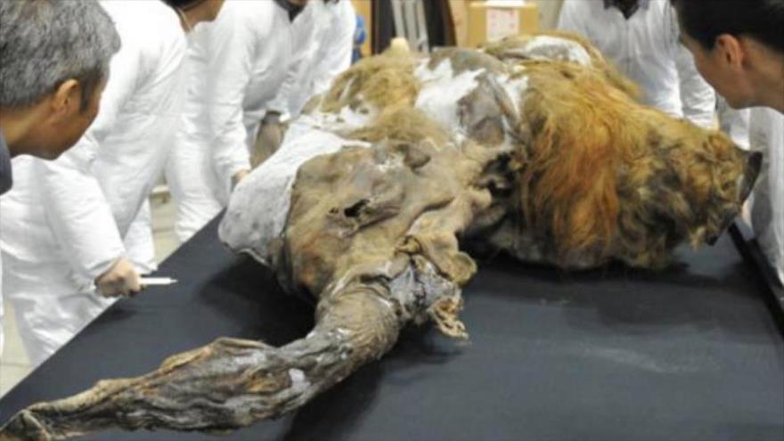 Encuentran en Siberia un mamut enano congelado en perfecto estado | HISPANTV