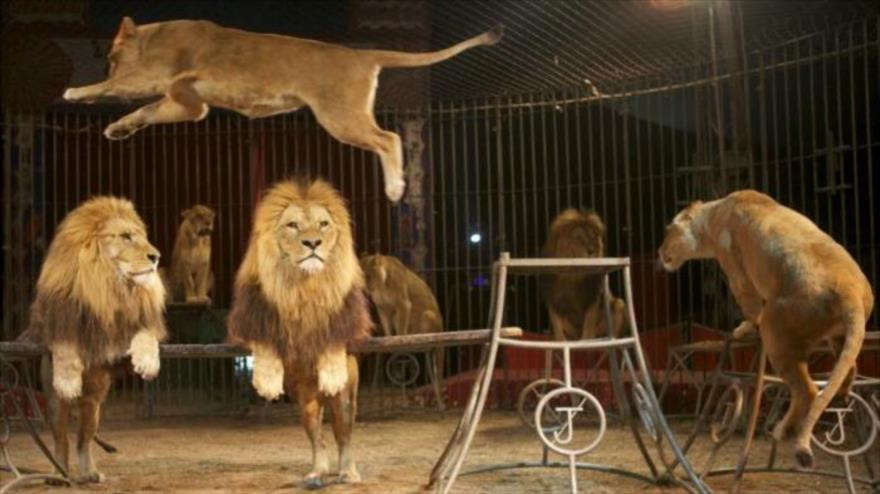 Vídeo: Un león ataca a su domador y le corta la mano en un circo