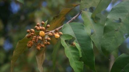 Planta descubierta en Amazonas mata células de cáncer