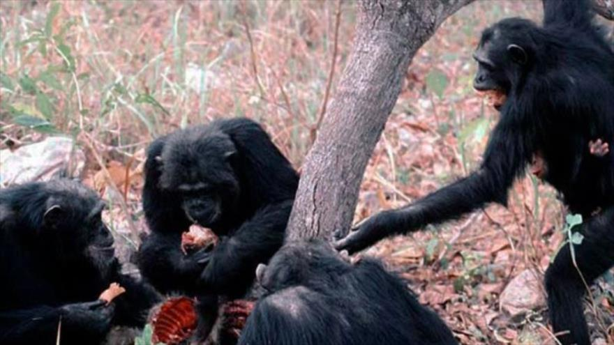 Descubren que los chimpancés comparten alimento solo con sus amigos | HISPANTV