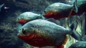 Hallan evidencia de contaminación plástica en peces de Amazonas