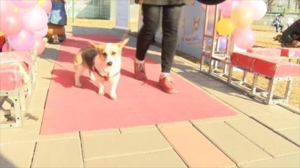 Corgis disfrutan de los Juegos Olímpicos de perros en Pekín