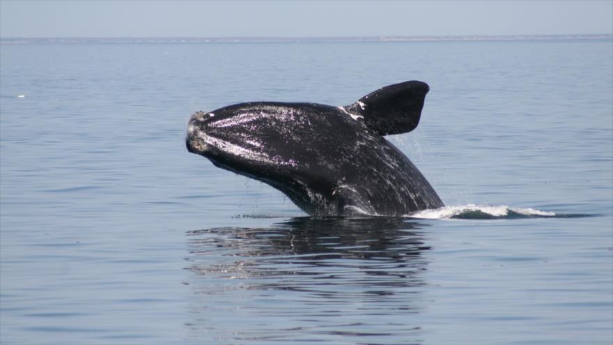 Una ballena franca en la bahía de Cape Cod de la costa Atlántica de Estados Unidos en el estado de Massachusetts.
