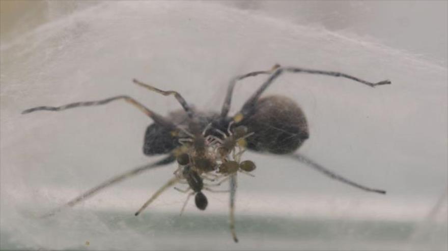 Vídeo: Descubren una especie de araña que amamanta a sus crías