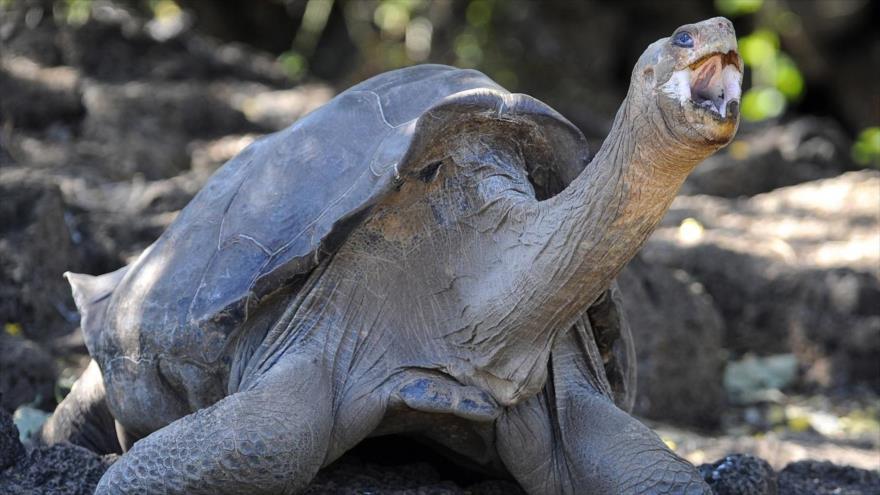 Una imagen de la tortuga Solitario George en el Parque Nacional Galápagos, en Santa Cruz, Ecuador, 18 de marzo de 2009. (Fuente: AFP)