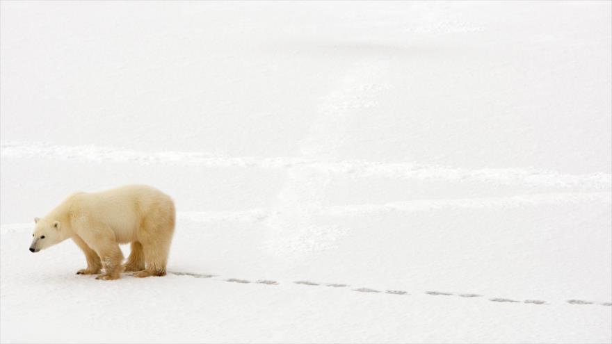 Un oso polar camina por la nieve a las afueras de Churchill, en la provincia canadiense de Mantioba, en el Ártico, 13 de noviembre de 2007. (Foto: AFP)