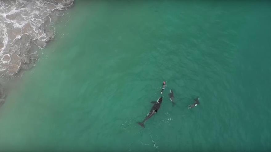 Vídeo: Una mujer nada en mar abierto acompañada por 3 orcas | HISPANTV
