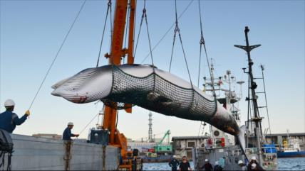 Japón reanudará caza indiscriminada de ballenas en los océanos