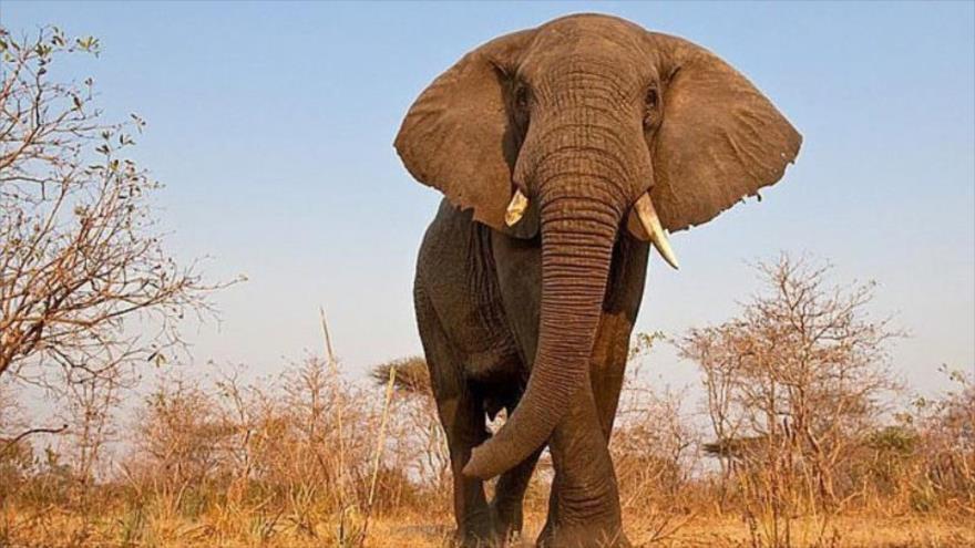 Vídeo: Muere aplastado por un elefante al tratar de hipnotizarlo