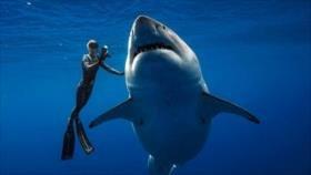 Buzos nadan con el tiburón blanco más grande del mundo