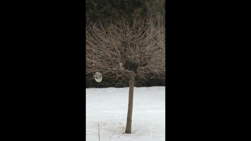 Vean cómo un enorme gato se equilibra en árbol para comer