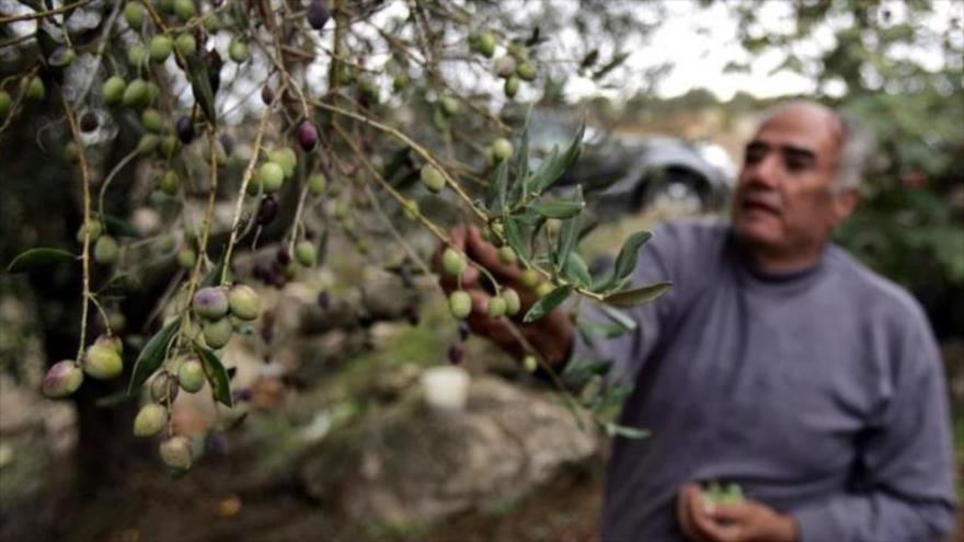Acusan a Turquía de robar olivo sirio para financiar a terroristas