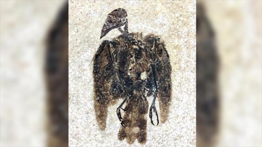 El fósil del ave llamada Eofringillirostrum boudreauxi, hallado en el lago conocido como Fossil Lake, ubicado en el estado estadounidense de Wyoming.