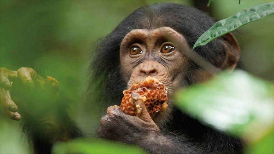 Los chimpancés descubiertos en el Congo realizan métodos para procesar alimentos que no se habían observado antes.
