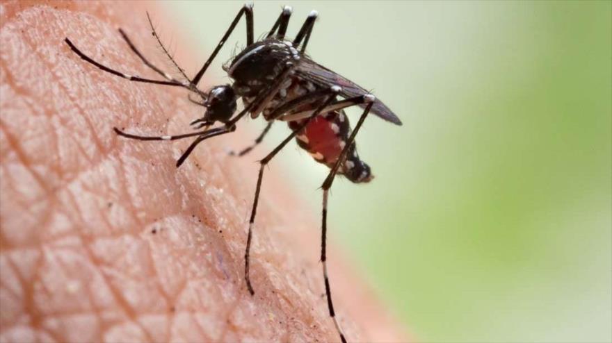 Un mosquito del género Anopheles, transmisor de la malaria.