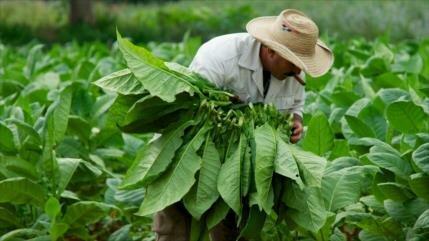 Científicos cultivan tabaco capaz de combatir la diabetes