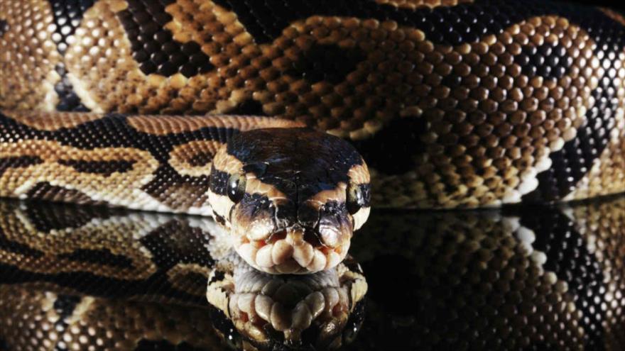 Una serpiente pitón birmana.