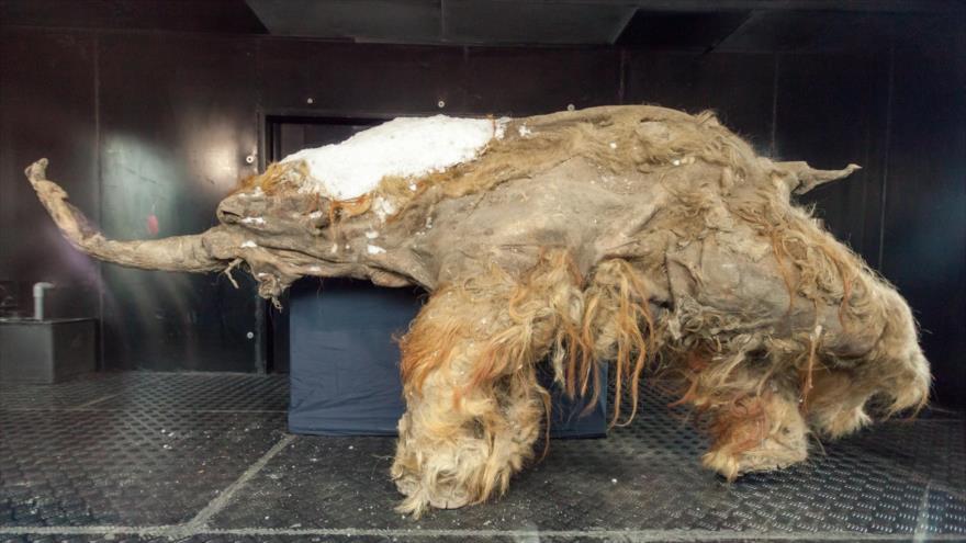 El cuerpo congelado del mamut Yuka.