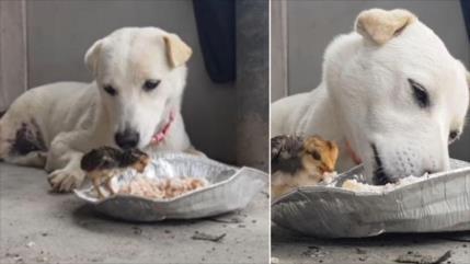 Vídeo entrañable: Un perro comparte su comida con un pollito