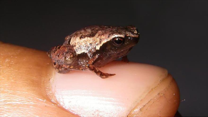 Descubren las ranas más pequeñas del mundo en Madagascar | HISPANTV