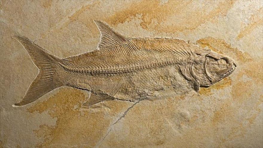 Fósil de Lonoscopus sp, de hace 150 millones de años, encontrado en Solnhofen, Bavaria, Alemania.