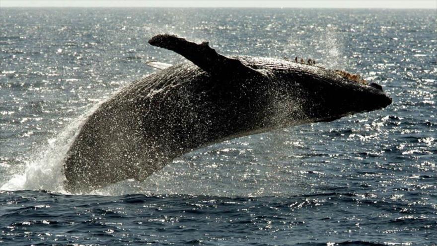 Los paleontólogos hallan el fósil de una ballena de cuatro patas en la Playa Media Luna, en la costa sureña de Perú.