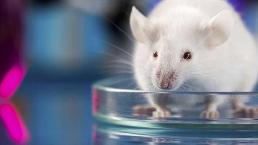Científicos logran por primera vez en ratones la desaparición del cáncer de páncreas