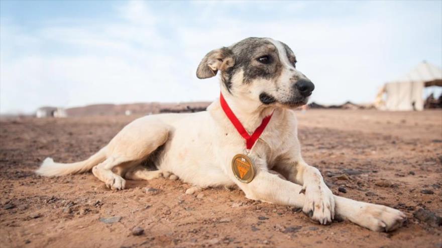 Un perro corre una carrera de 250 km en desierto del Sáhara
