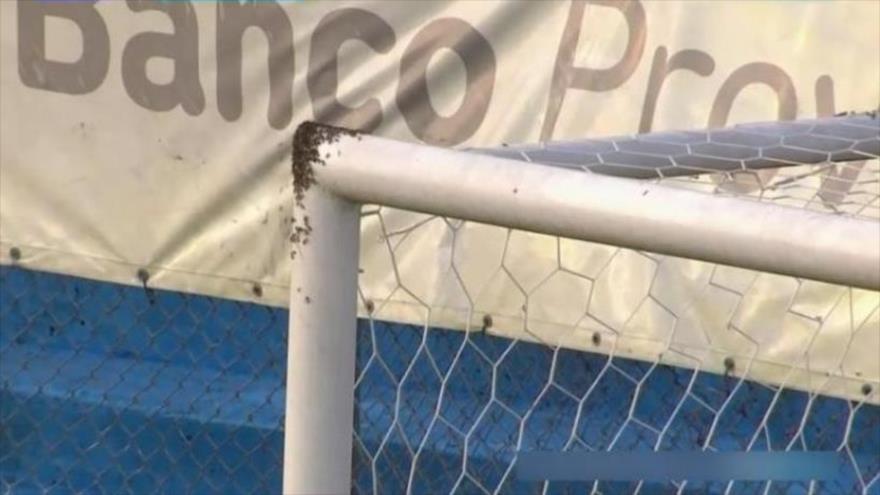 Vídeo: Invasión de abejas suspende partido de fútbol en Argentina | HISPANTV