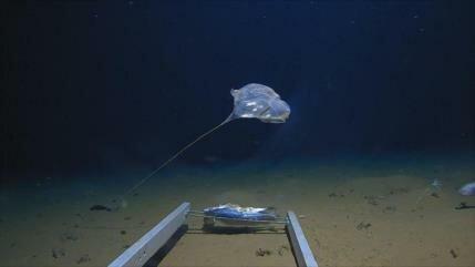 Hallan rara criatura marina en profundidades del océano Índico