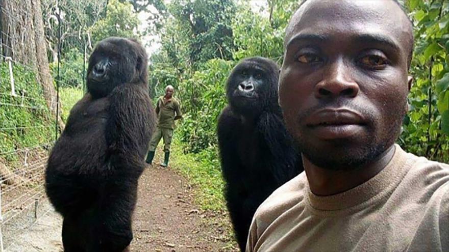 El selfie de dos gorilas huérfanas con los guardabosques del Parque Nacional Virunga en la República Democrática del Congo (RDC).