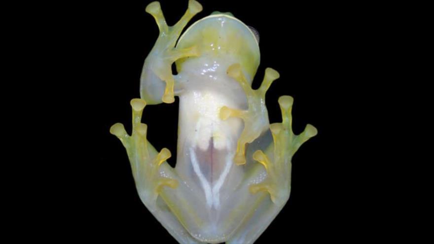 Hallan una nueva especie de rana de cristal en Colombia.