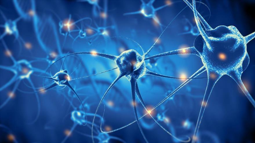 Científicos encuentran un número significativo de neuronas de nuevo desarrollo presente en el tejido del hipocampo de los mayores.