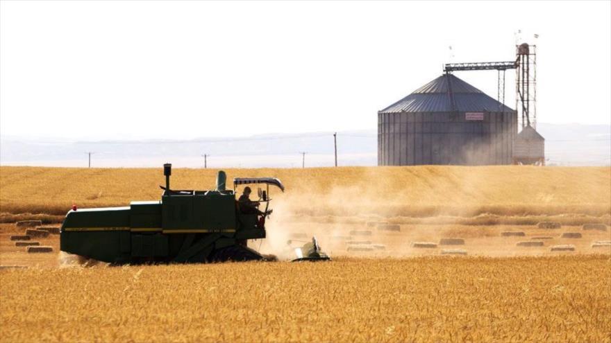 Una cosechadora combinada de trigo en un campo agrícola persa.