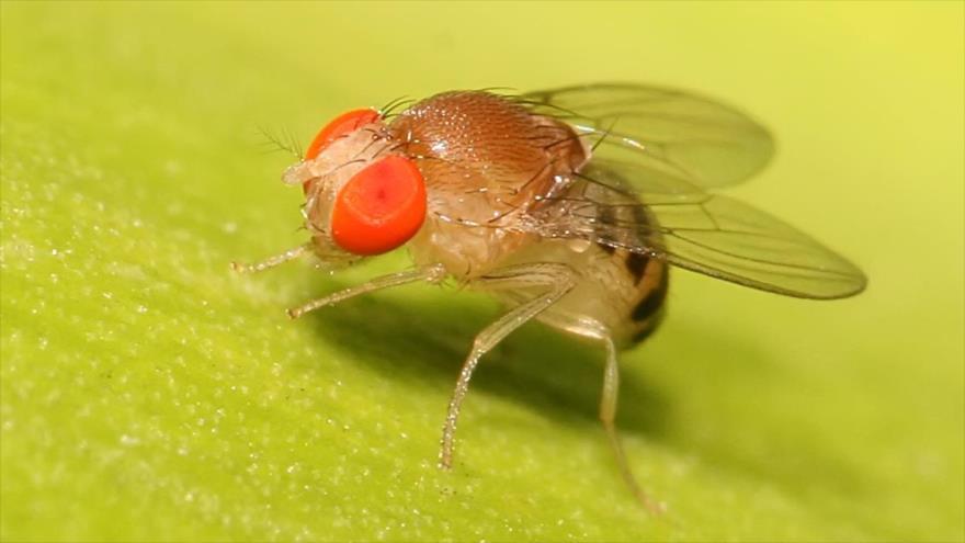 Crean avatar de mosca de la fruta, drosophila para ayudar a combatir el cáncer terminal de colon.