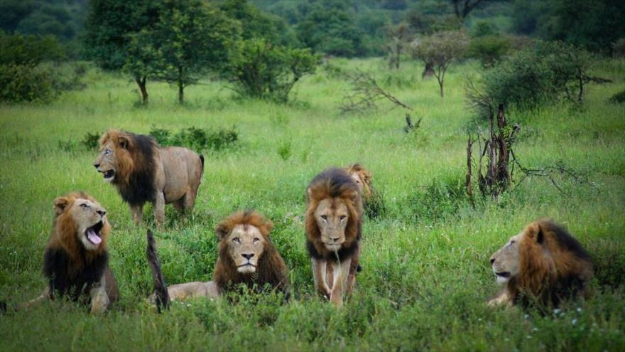 Varios leones en el Parque Nacional Kruger de Sudáfrica.