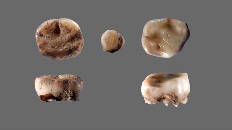 Dientes de leche de 31 000 años de antigüedad encontrados en un sitio arqueológico en Siberia.