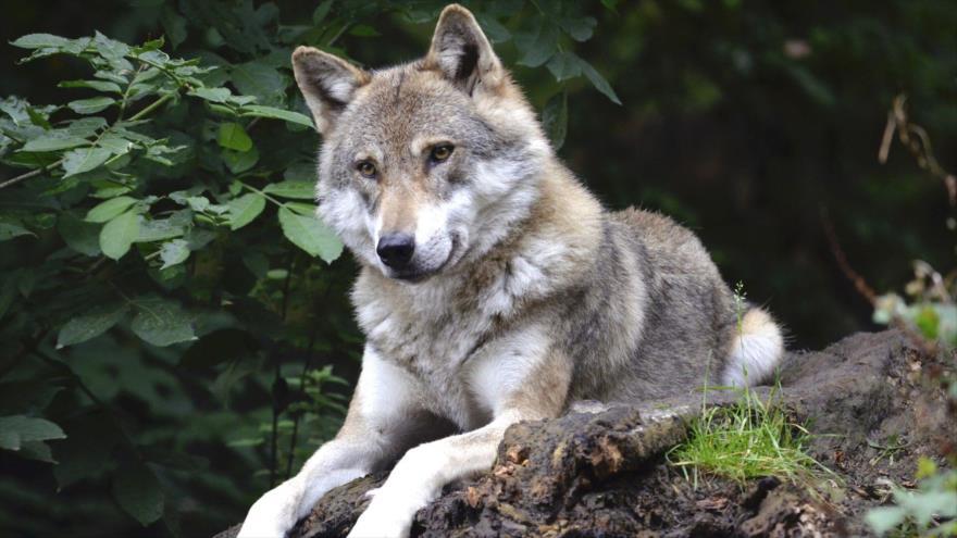 Los científicos hallan en Rusia la cabeza de un lobo gigante que vivió hace 40 000 años.