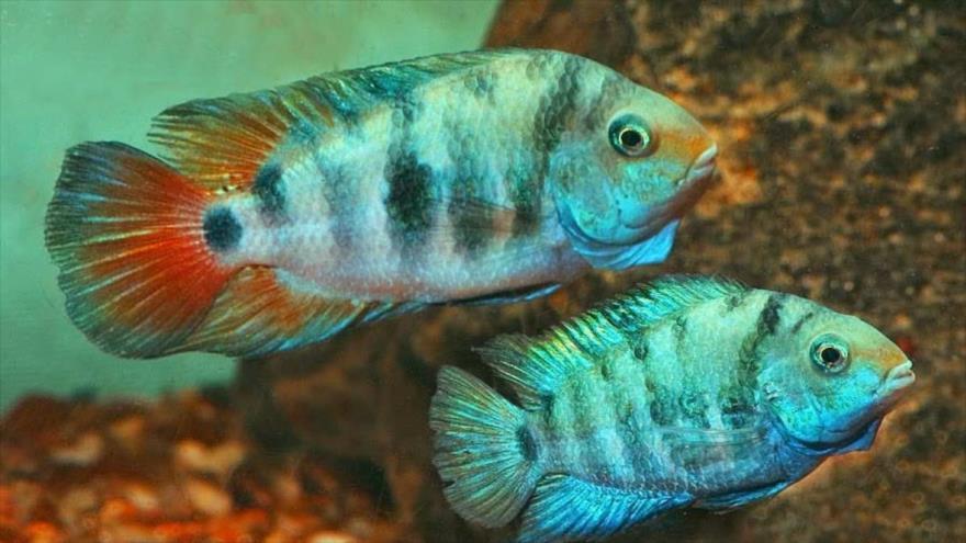 Los científicos descubren que pez tropical sufre mal de amores.