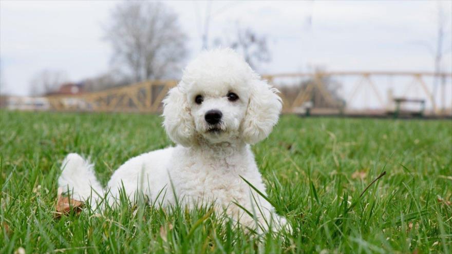 Un estudio muestra que los perros pueden detectar con su olfato el cáncer de pulmón, principal causa de muerte por cáncer en el mundo.