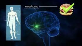 Científicos reconocen una nueva vía del hambre en el cerebro