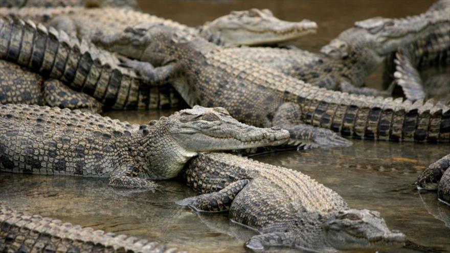 Una granja de cocodrilos en Australia.