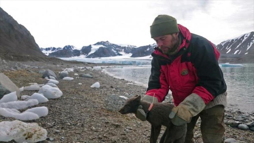 Zorra ártica recorrer más de 3500 km entre Noruega y Canadá en solo 76 días.