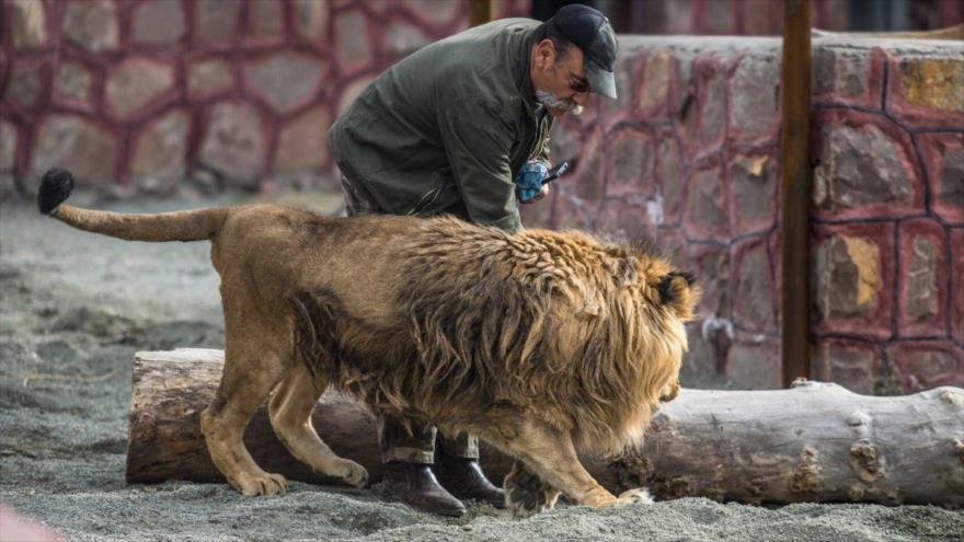 Vídeo: Un león ataca a responsable de un zoo en Irán