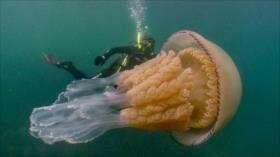 Vídeo: Encuentran una medusa gigantesca del tamaño de una persona