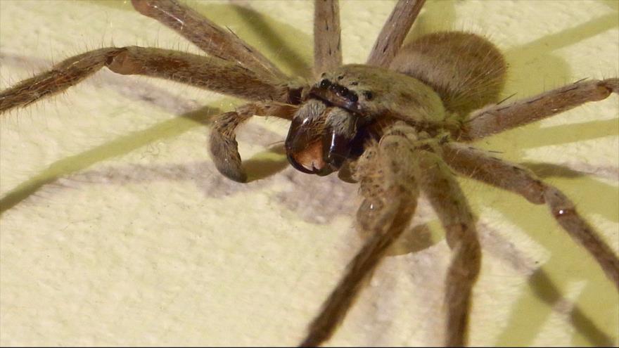 Una araña cazadora gigante se cuela en una casa en Australia.