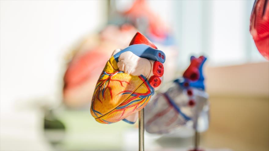 Los científicos descubren una nueva combinación de células madre, que podría ayudar a reparar corazones dañados.